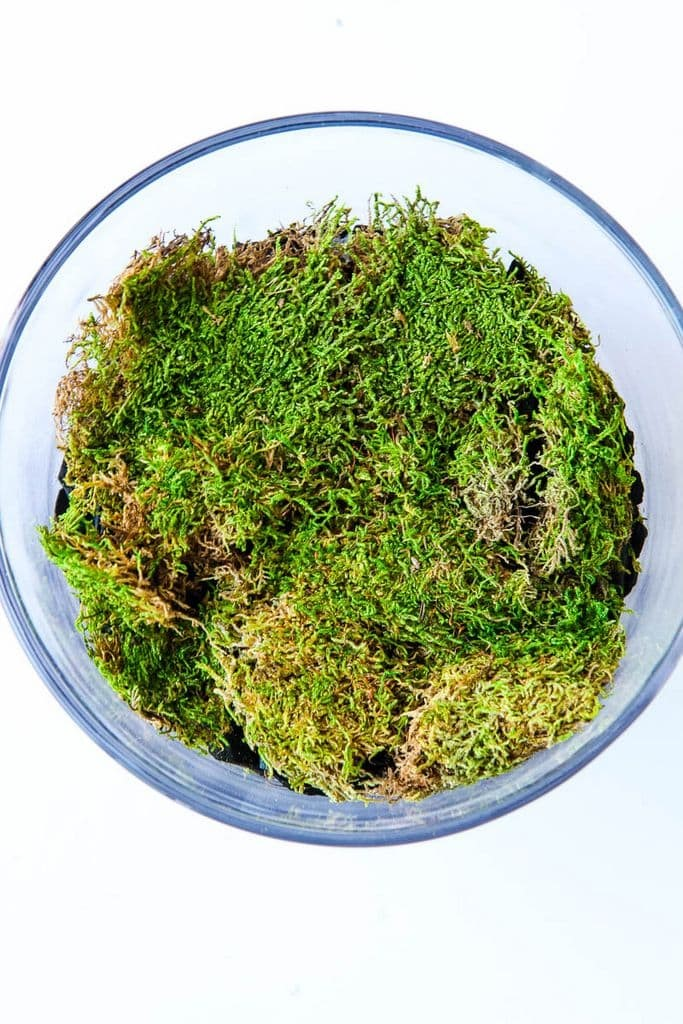 Moss Layer in Terrarium