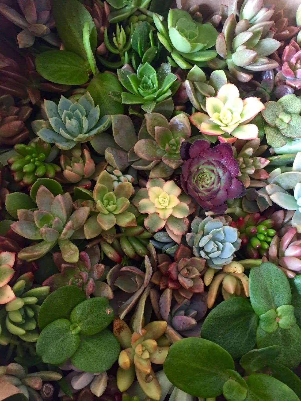 50 Succulents